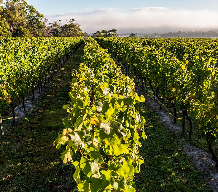 Goaty Hill vineyard